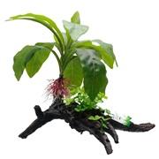Fluval Decorative Plants,  Striped Anubias, 34cm (13.5) on Root