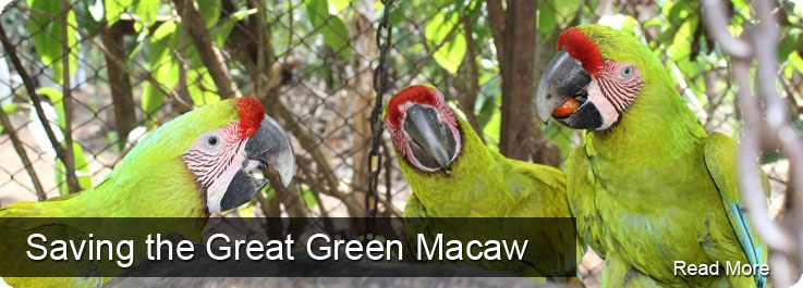 g the Great Green Macaw